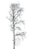 没有在白色隔绝的叶子的桦树 库存照片
