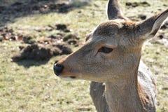 没有垫铁的鹿在奈良,日本 图库摄影