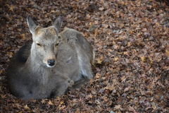 没有垫铁的鹿在奈良,日本 库存照片