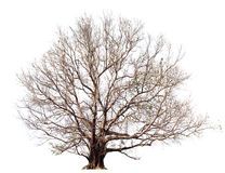 没有大叶子的干燥树,在白色的Bodhi树 查出的结构树 库存照片