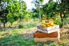 没有存放在箱子的桔子 并且桔子在柑橘庭院里 免版税图库摄影
