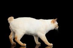 没有尾巴湄公河短尾的猫的美好的品种隔绝了黑背景 免版税库存照片