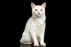 没有尾巴湄公河短尾的猫的美好的品种隔绝了黑背景 免版税图库摄影