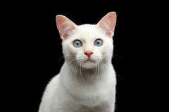 没有尾巴湄公河短尾的猫的美好的品种隔绝了黑背景 库存照片