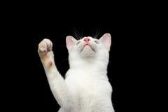 没有尾巴湄公河短尾的猫的美好的品种隔绝了黑背景 图库摄影