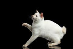 没有尾巴湄公河短尾的猫的美好的品种隔绝了黑背景 免版税库存图片