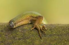 没有尾巴的蜥蜴 免版税图库摄影