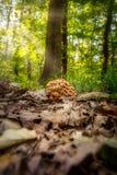 没有戒指的蜂蜜蘑菇蜜环菌属tabescens 图库摄影