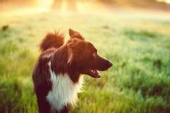 没有户外皮带的一条纯血统博德牧羊犬狗本质上在美好的日出的 免版税库存图片