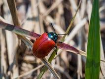 没有斑点的瓢虫,在草叶子  免版税库存图片