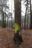 没有树的秋天森林 免版税图库摄影