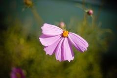 没有瓣的桃红色雏菊 免版税图库摄影