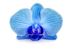 没有背景的美丽的蓝色的兰花,明亮的蓝色的兰花在白色背景开花 免版税库存照片