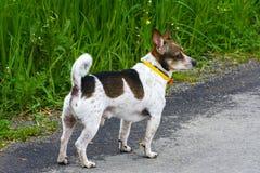 没有走的品种的一条金黄狗  免版税库存图片
