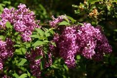 没有这棵开花的树在春天有奴役我们的嗅觉的一种非常强和宜人的气味的 免版税库存照片