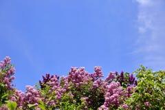 没有这棵开花的树在春天有奴役我们的嗅觉的一种非常强和宜人的气味的 库存照片