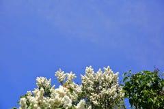 没有这棵开花的树在春天有奴役我们的嗅觉的一种非常强和宜人的气味的 图库摄影