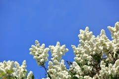 没有这棵开花的树在春天有奴役我们的嗅觉的一种非常强和宜人的气味的 免版税图库摄影