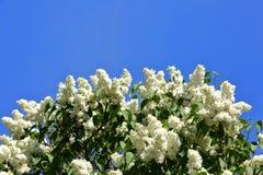 没有这棵开花的树在春天有奴役我们的嗅觉的一种非常强和宜人的气味的 库存图片