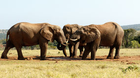 没有今天水-非洲人布什大象 免版税图库摄影