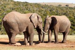 没有水的非洲人布什大象 图库摄影
