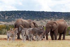 没有水的非洲人布什大象 免版税库存图片