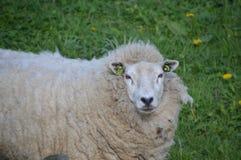 没被刮的绵羊  免版税库存图片