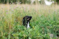 沮丧在绿草草坪的西班牙猎狗画象 免版税库存图片