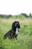 沮丧在绿草草坪的西班牙猎狗画象 免版税图库摄影