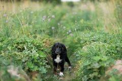 沮丧在绿草草坪的西班牙猎狗画象 免版税库存照片