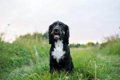 沮丧在绿草草坪的西班牙猎狗画象 库存图片