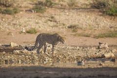 沮丧的猎豹 免版税库存照片