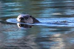 河中水獭游泳 免版税图库摄影