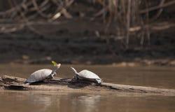 河乌龟和蝴蝶 免版税库存图片
