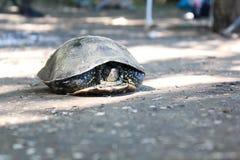 河乌龟收缩了 免版税库存照片