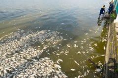 河内,越南- 2016年10月2日:在湖的许多死的鱼有垃圾收集工的,环境工作者采取许多死的鱼从我们 库存照片