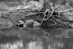 河和树根 免版税库存图片