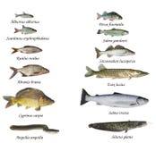 河和湖鱼  库存照片
