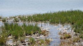 河和芦苇 免版税库存图片