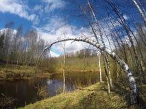 河在春天木头,桦树弯曲了在水 免版税库存照片