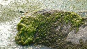 河小龙虾在石头在海藻爬行并且落颠倒 螯虾属螯虾属后退 wildli的概念 股票录像