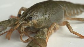 河小龙虾,特写镜头 影视素材
