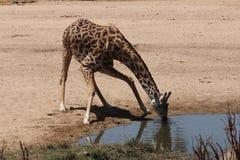 河床喝干燥长颈鹿河 免版税库存图片