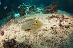 河床蓝色海运被察觉的黄貂鱼 免版税库存照片
