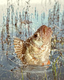 河掠食性动物 免版税库存图片