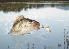 河掠食性动物 库存图片