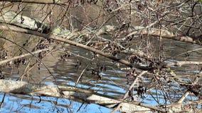 河水通过树光秃的分支使用在阳光下 影视素材