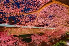 河津町樱桃树和火车Miurakaigan 免版税库存照片