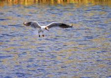 河燕鸥盘旋在沐浴的水的蓝色表面  库存照片