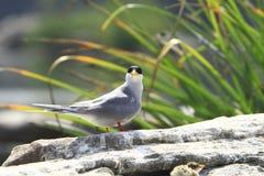 河燕鸥 库存图片